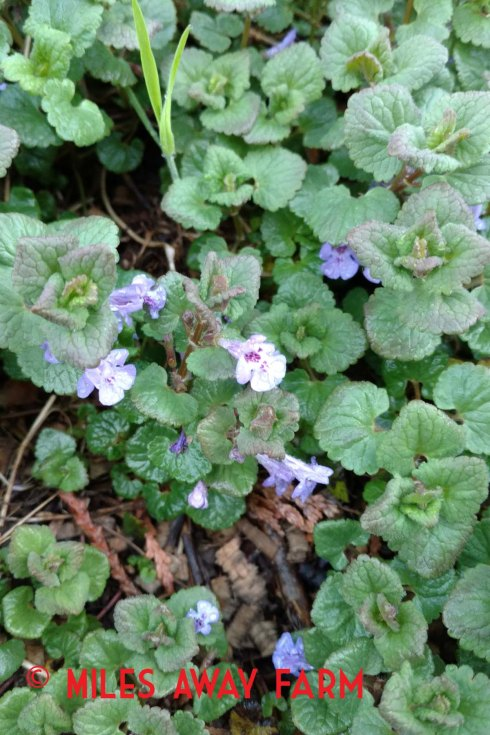 Ground Ivy plants. Glechoma hederacea.