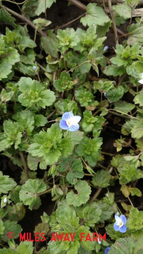Persian Speedwell - Veronica persica