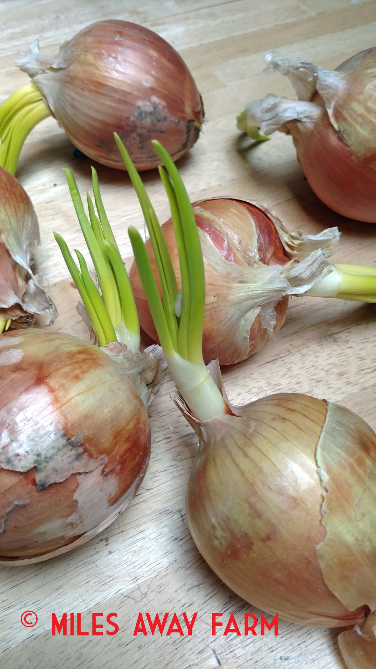 Sprouting Onions