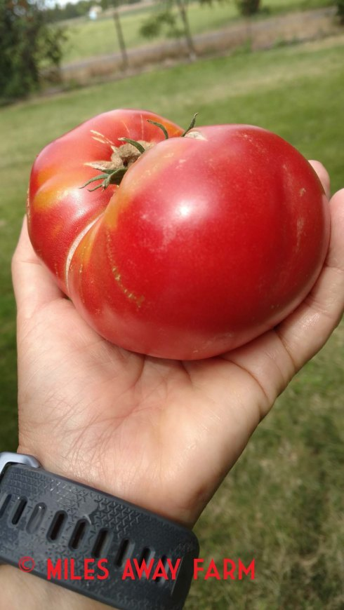 Mortgage Lifter heirloom Tomato