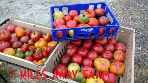 Big harvest heirloom tomatoes