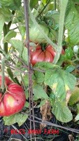 Brandywine heirloom tomato