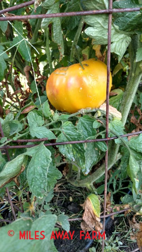 Striped German heirloom tomato