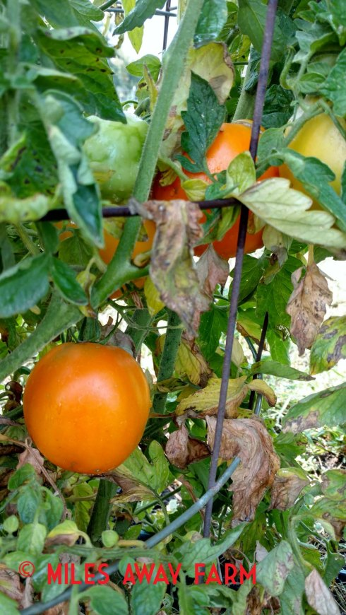 Valencia heirloom tomato