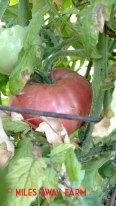German Pink heirloom tomato