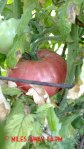 German Pink heirloom tomato