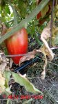 San Marzano heirloom tomato