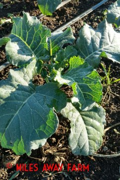Fall broccoli may not make it to harvest before real winter sets in