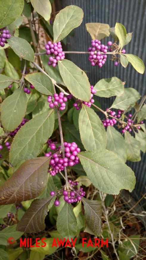 Beatuyberry. Callicarpa.