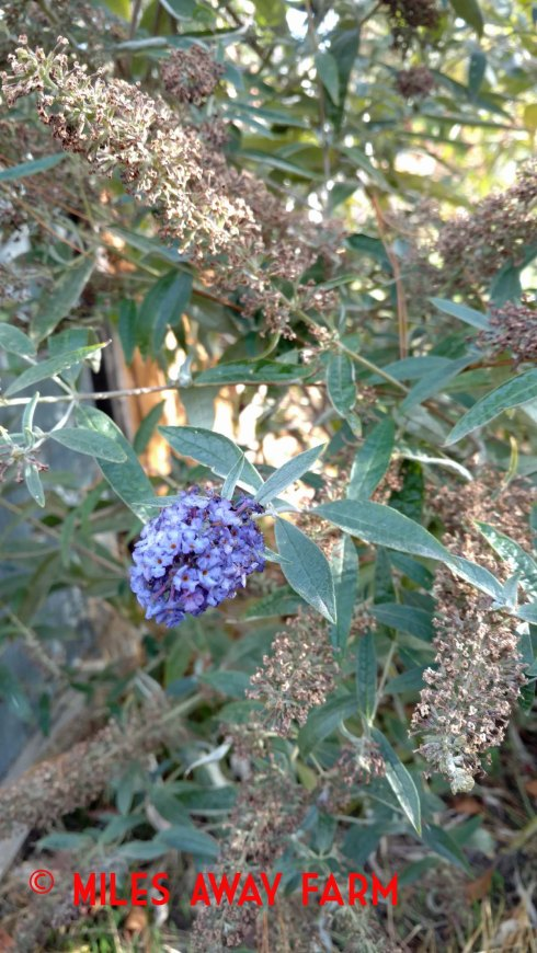 Butterfly bush (Buddleia davidii)
