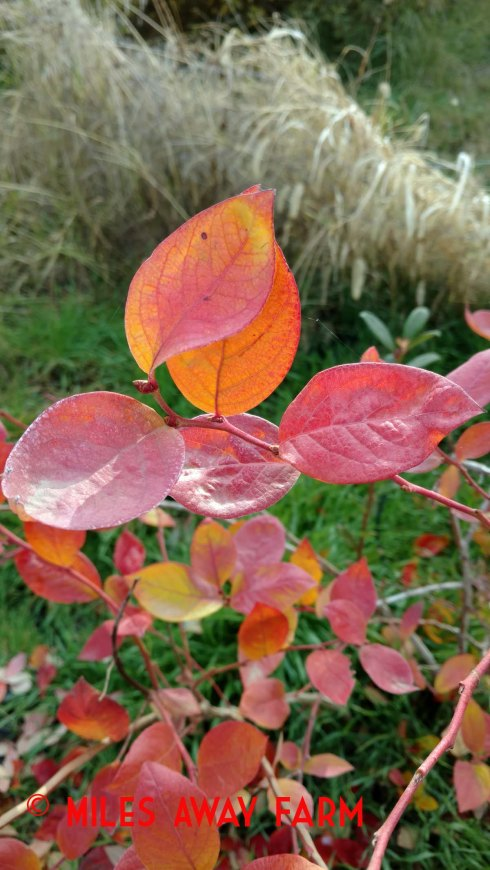 Blueberry leaves turn color in fall.