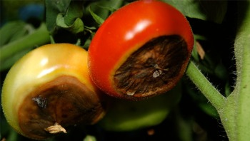 Blossom-end-rot-on-tomato